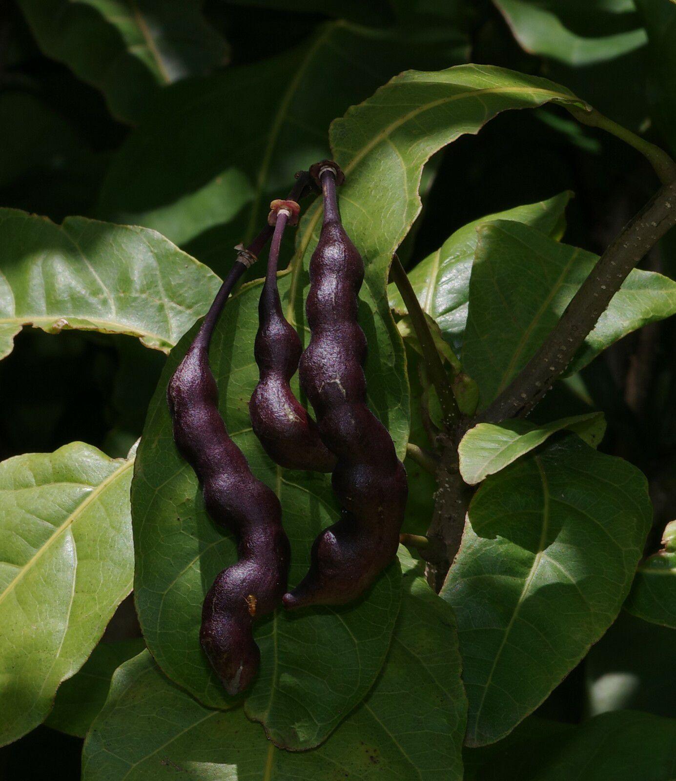 Capparidastrum frondosum