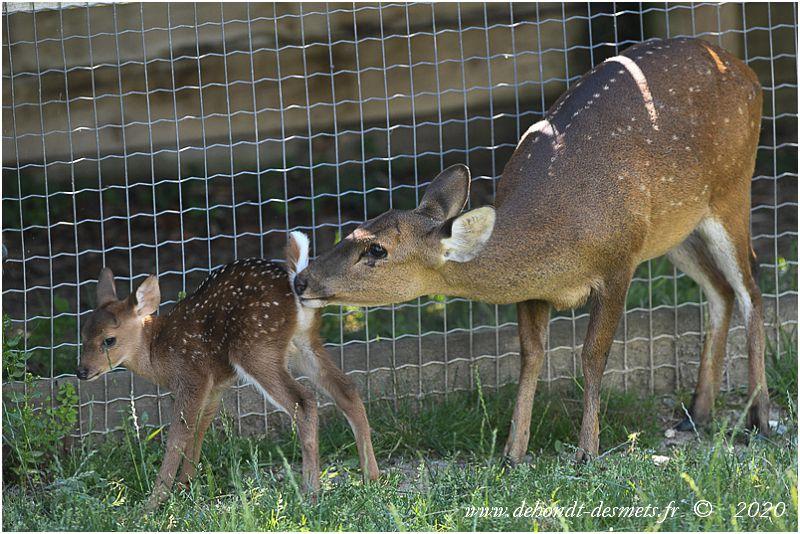 Une femelle cerf cochon allaite son petit. Ensuite, elle lui lèche la région ana-génitale pour stimuler la miction et la défécation.