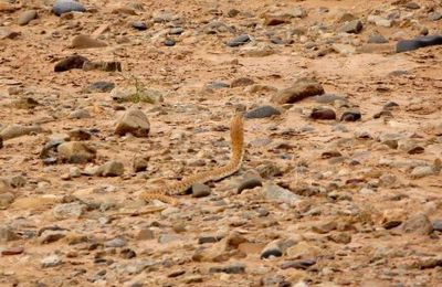 Le cobra marocain