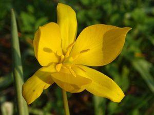 Tulipa sylvestris est surtout une plante messicole en Europe de l'Ouest, notamment dans les vignes… Photos : JLS (Cliquez pour agrandir)