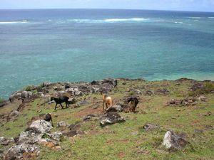 Les chèvres de la Pointe-aux-Cornes...