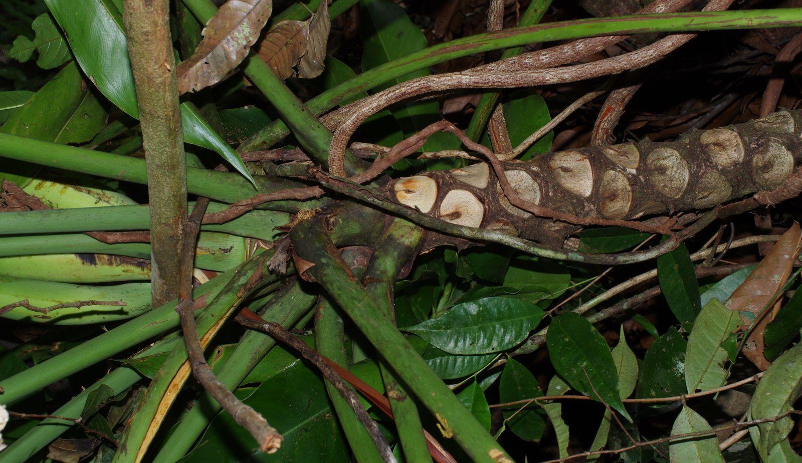 Thaumatophyllum spruceanum