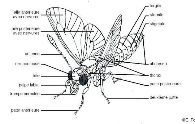 Glossaire illustré d'entomologie : Lépidoptères