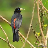Cassique cul-rouge (Cacicus haemorrhous) - Oiseaux d'Argentine