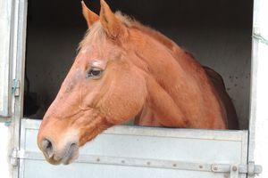 Quelles friandises pour mon cheval? Les friandises industrielles et maison