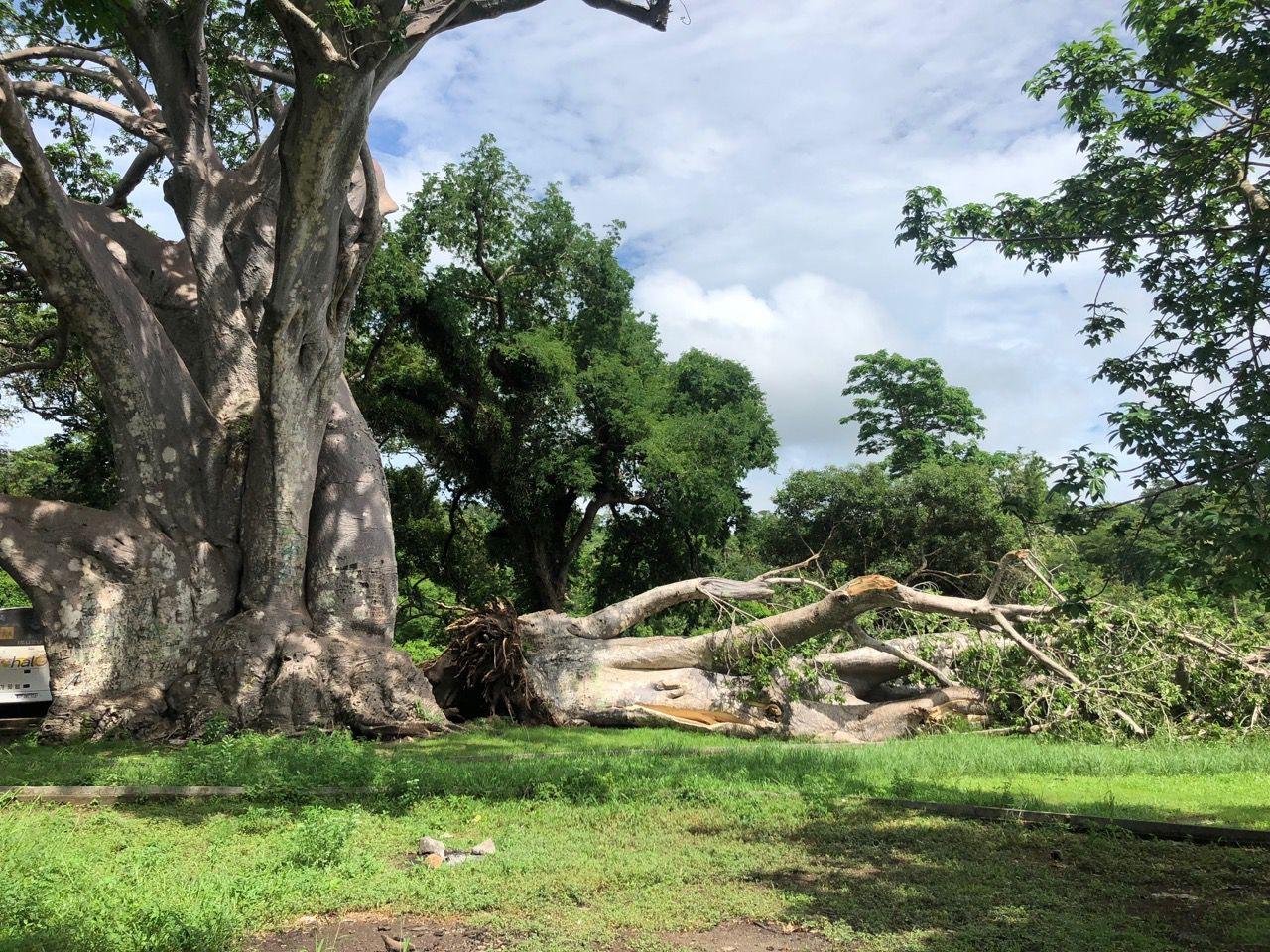 Un des baobabs de Musicale Plage s'est écroulé le 13-01-2019