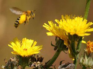 Pollen et nectar sont récoltés uniquement sur des astéracées, les espèces ligulées en particulier (picrides et chicorées). Attention ses fleurs se referment en début d'après-midi. Photos Dan Failler.