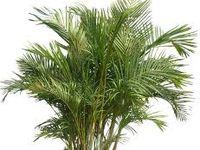 Anecdote : La Nasa a mis récemment en valeur la capacité de dépolluant de ce palmier qui arrive à neutraliser divers produits chimiques qui sont présents à l'intérieur des maisons.