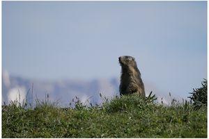 chez les marmottes
