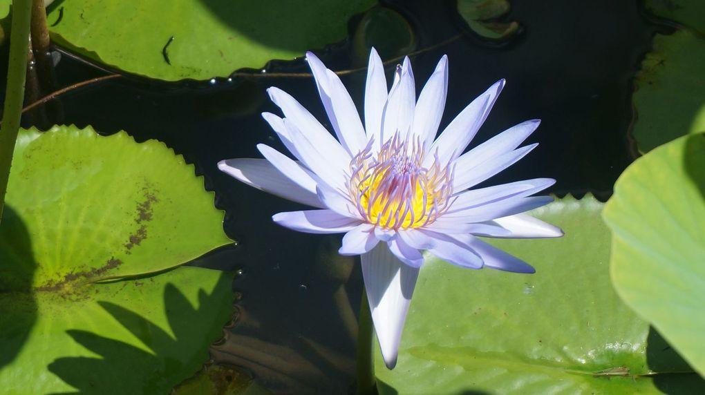 Victoria amazonica et nelumbo nucifera (lotus) - 6 photos