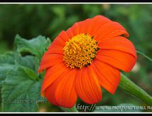 Gerbera, la fleur qui est loin de donner la nausée ...