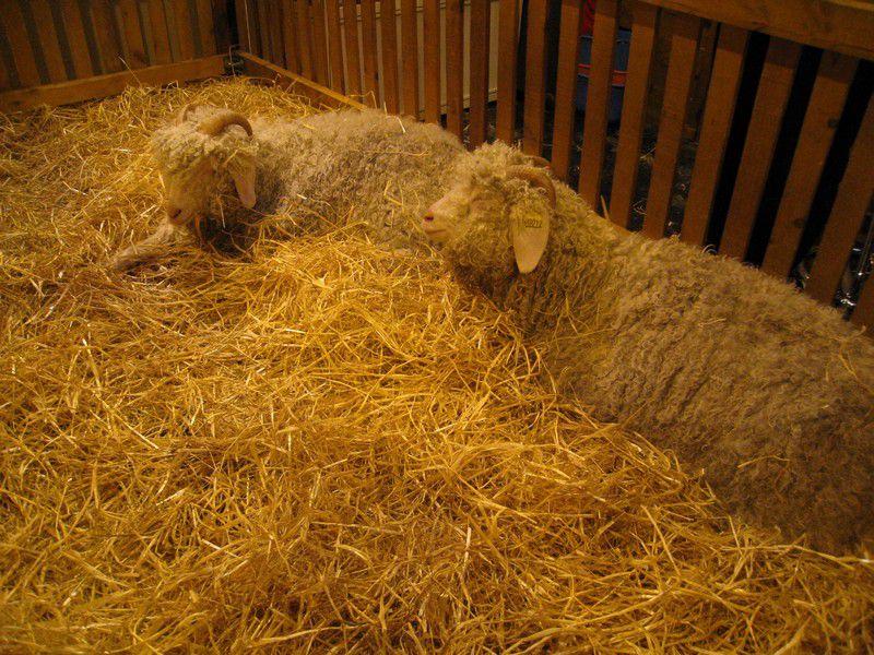 Promenades parmi les animaux présents au Salon de l'Agriculture 2009