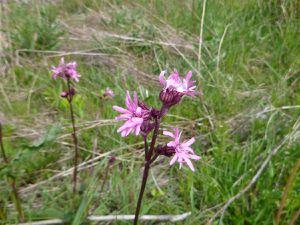 Lychnis fleur de coucou, Lychnis flos-cuculi