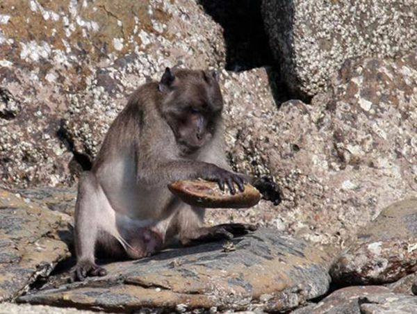 A macaque in Laem Son National Park uses a rock to crack the shell of coastal invertebrates. Habitat pressures and interactions with humans may cause the primates to change their eating habits.