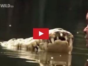 VIDEO - Surprenant, l'homme qui nage avec un crocodile