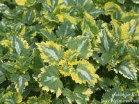 Hosta 'Paradise Island'  -  Kniphofia 'Tawny King'  -  Lamium maculatum 'Greenaway'