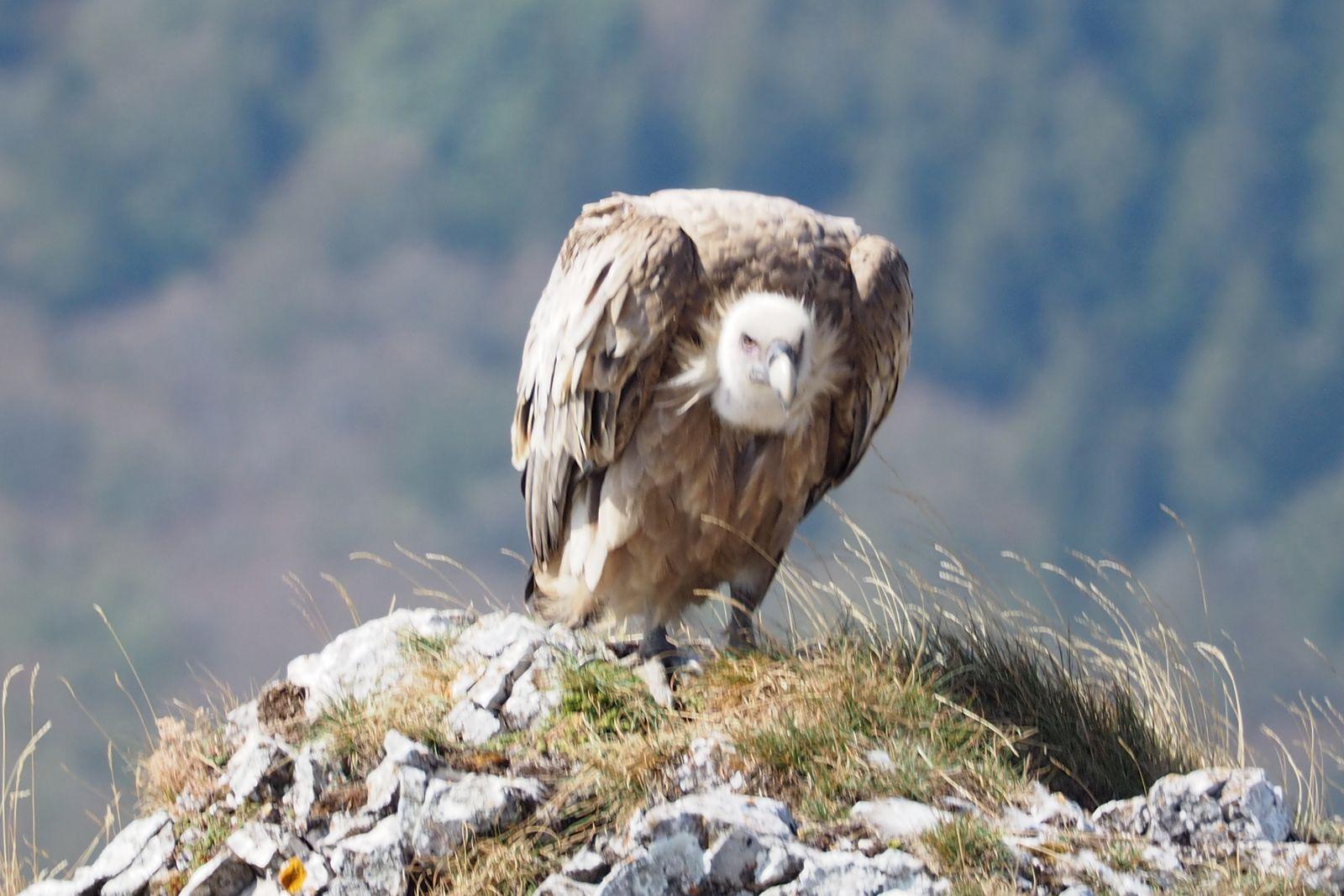 En compagnie d'un vautour.