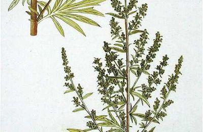 Armoise (Artemisia vulgaris)