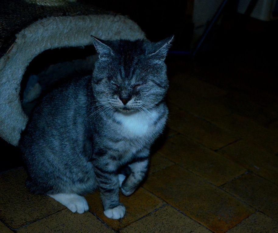 adopté : SYLVESTRE - mâle castré Siver Tabby de 3-4 ans