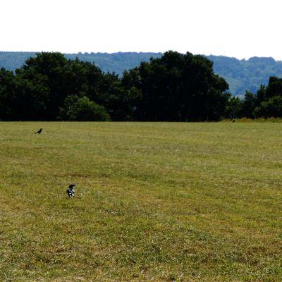 Le vol noir des corbeaux sur la plaine de Bardouville