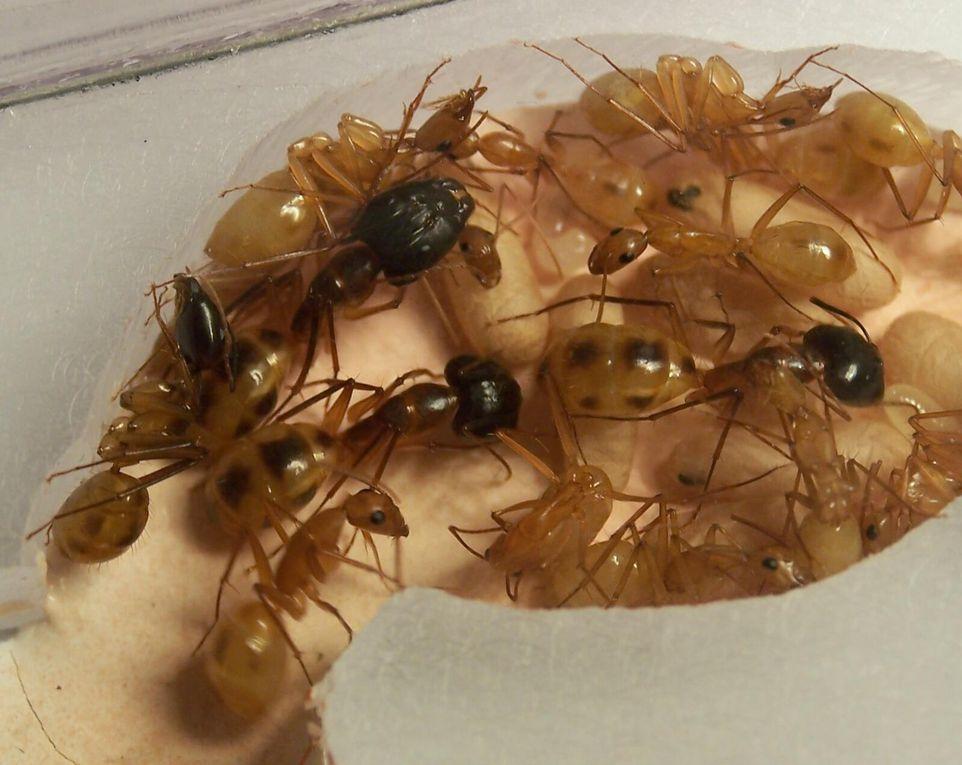 Album - Camponotus maculatus
