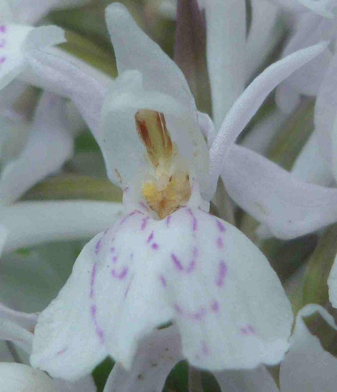 ORCHIDEES, RICHE FLORE SAUVAGE, INSECTES  ET  INITIATION AU  DESSIN  NATURALISTE