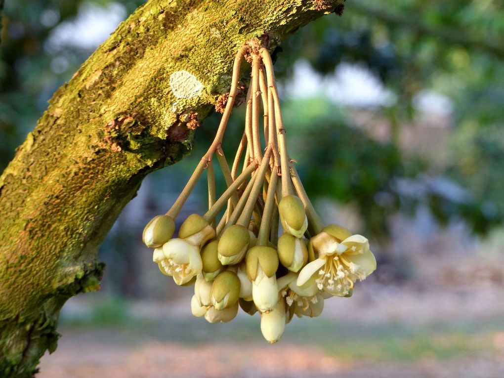 Fleur de durian - Fleur du jour (19-09)