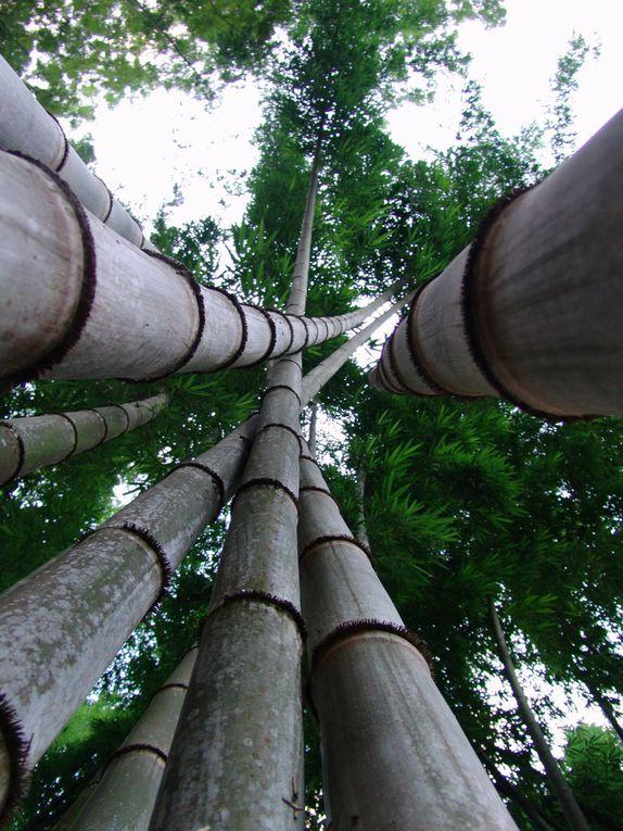 Plante monocotylédone. Famille : Poaceae. Bambou n'aime pas le froid. Il pousse presque partout dans le monde : Asie, Afrique, Amérique, Océanie mais pas facilement en Europe.