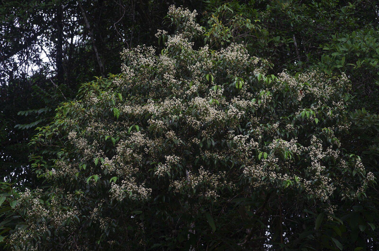Myrcia sp1 (Myrcia fallax ?)