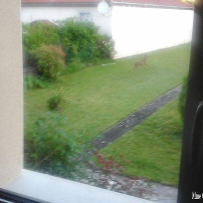 Un chevreuil photographié hier dans un jardin de la rue Figeagaise à Maurs