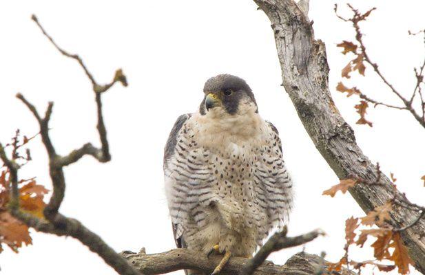25/01: Comptage des faucons pélerins