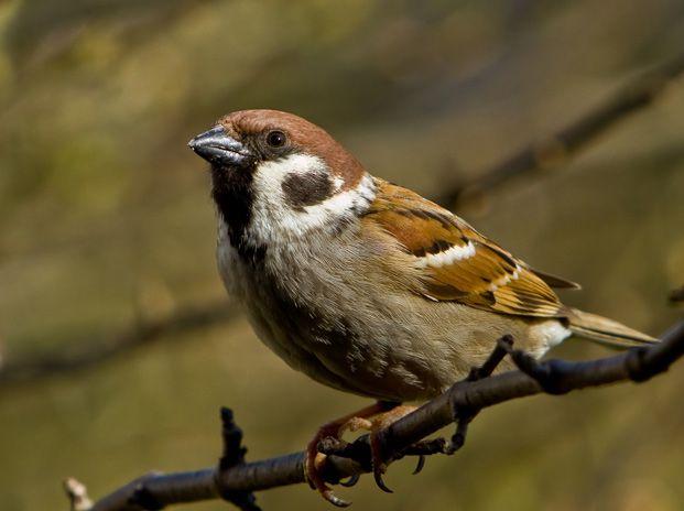 Trente ans de suivi des oiseaux communs : un déclin qui perdure