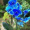 """Die """"blaue"""" Orchidee"""