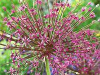 Allium schubertii, sphaerocephalum et christophii