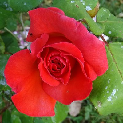Mes deux roses créations