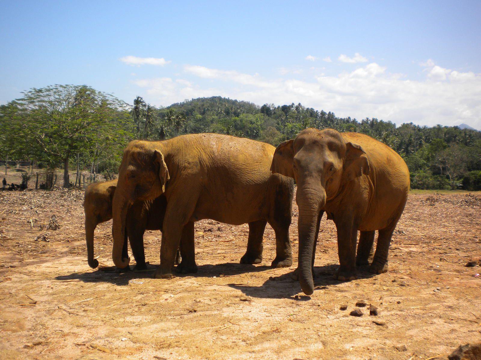 A la rencontre des éléphants du Sri-Lanka
