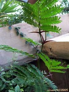 Des acacias qui savent se défendre