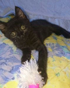 Mitsubishi, chaton mâle noir, à l'adoption -> adopté