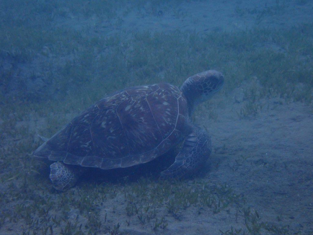 tortue au nord de la plage de Malendure
