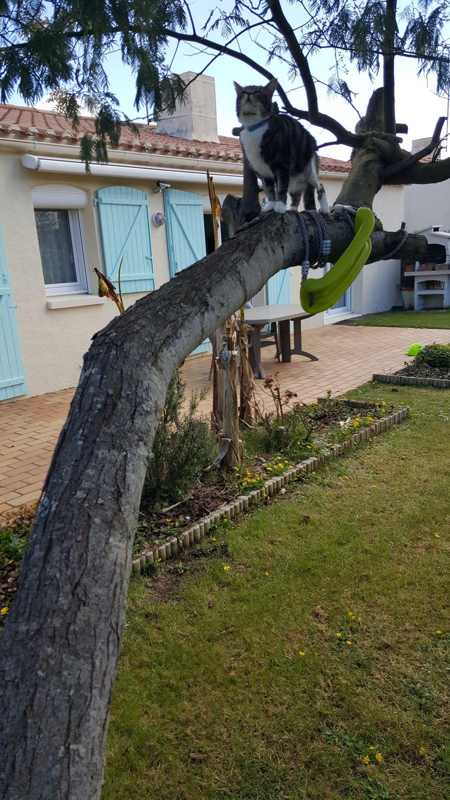 La rééducation : grimper sur notre mimosa penché par les tempêtes d'hiver (excellent exercice).