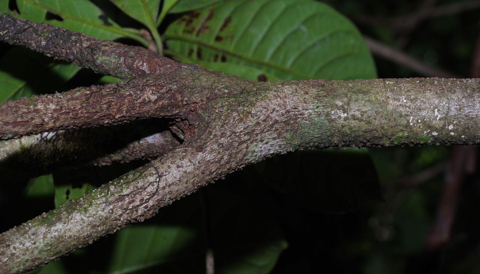 Byrsonima sp1