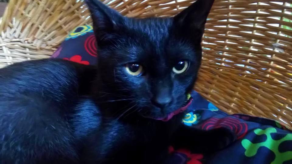 A l'adoption : OBAMA, adolescent mâle castré noir de 11 mois