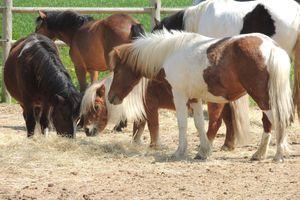 Introduire un nouveau cheval dans un groupe