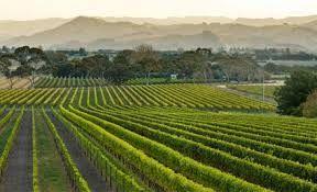 Vineyards in the Gisborne region
