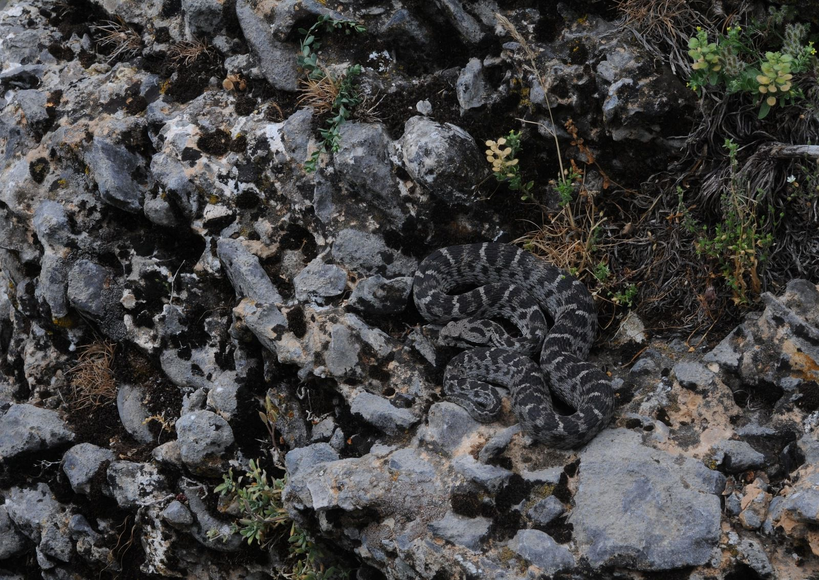 Montivipera bulgardaghica. Toros Dağları, Turchia.