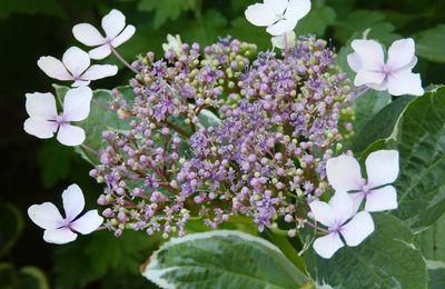 Hortensia 'Tricolor' - Hydrangea macrophylla 'Tricolor'