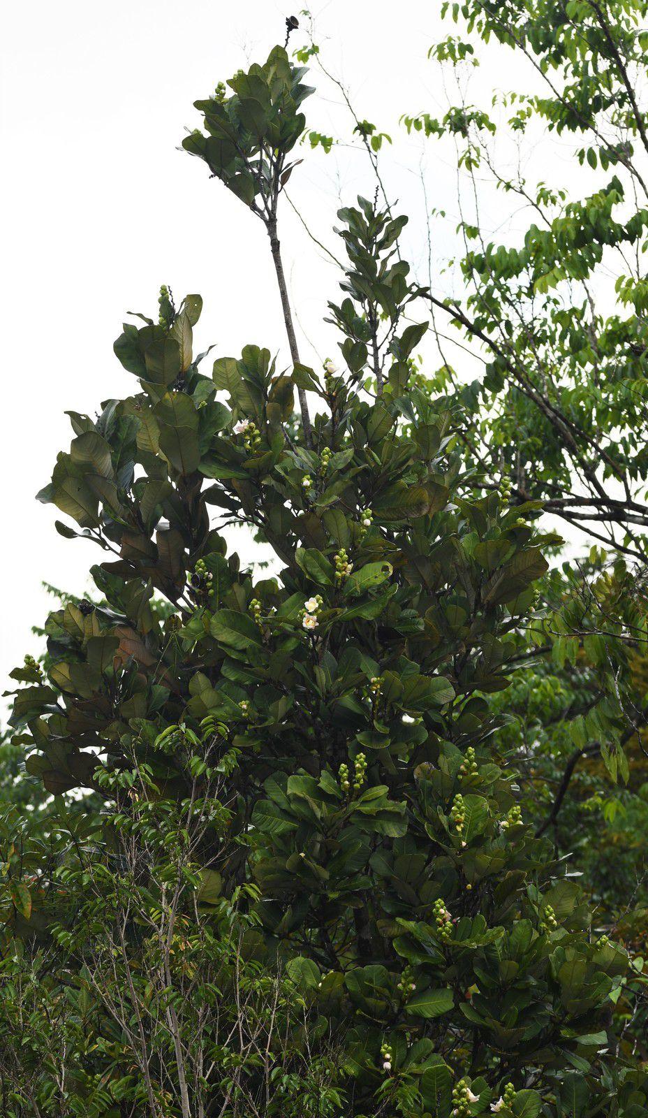 Lecythis congestiflora (mahot noir à grandes feuilles)