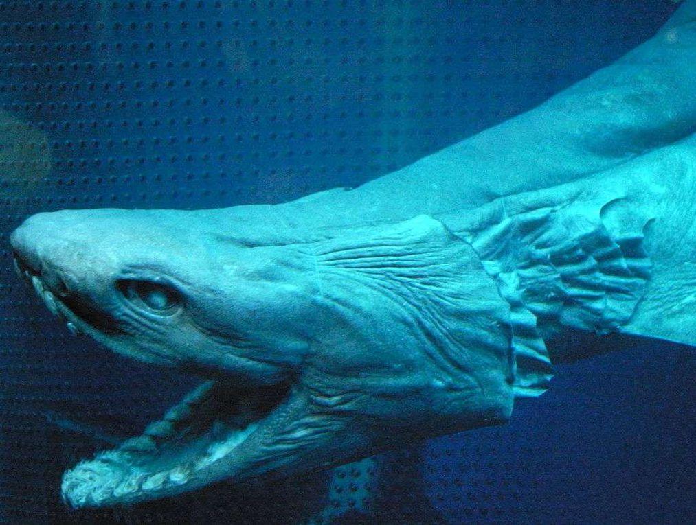 Vidéo - Découverte d'un requin rarissime au large du Portugal