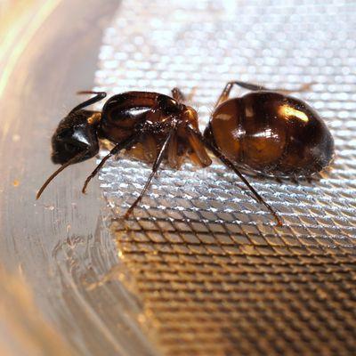 Camponotus sud américaine