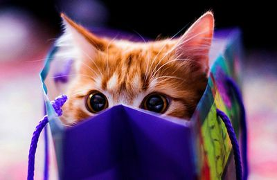Animaux - Chat - Félin - Regard - Photographie - Wallpaper - Free